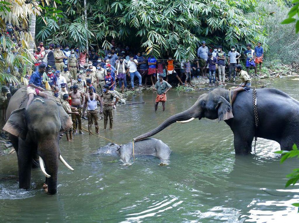Pilu Gajah Makan Nanas Berpetasan, Sebuas Itukah Manusia?