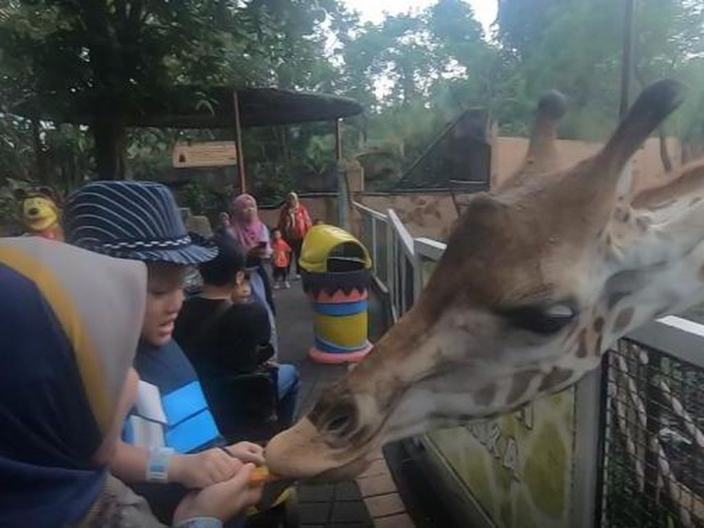 Serunya Memberi Makan Jerapah di Batu Secret Zoo