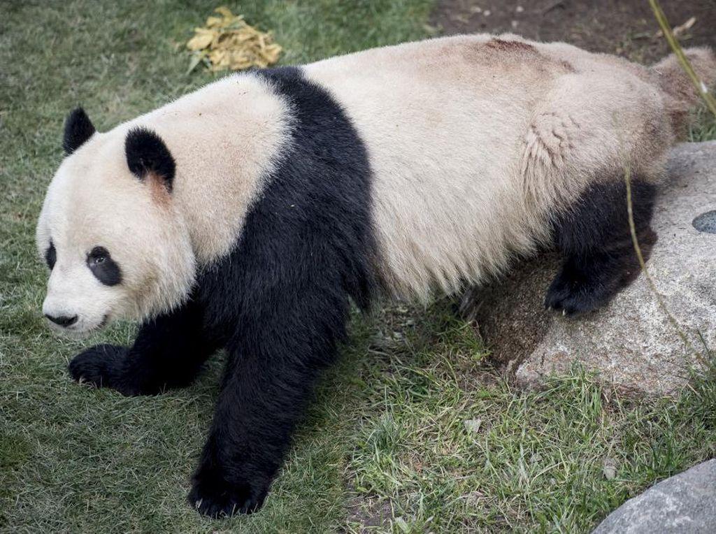 Panda Kabur dari Kandangnya di Kebun Binatang Denmark, Bosan Dikarantina?