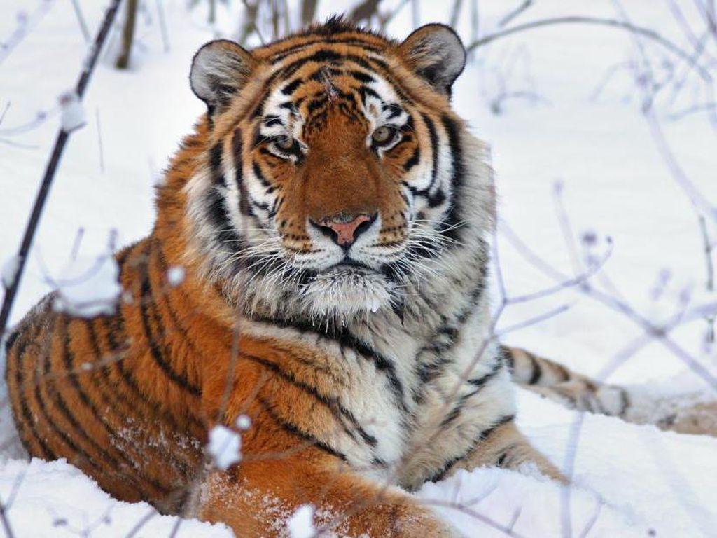 Penjaga Kebun Binatang Diserang Harimau, Pengunjung Ketakutan