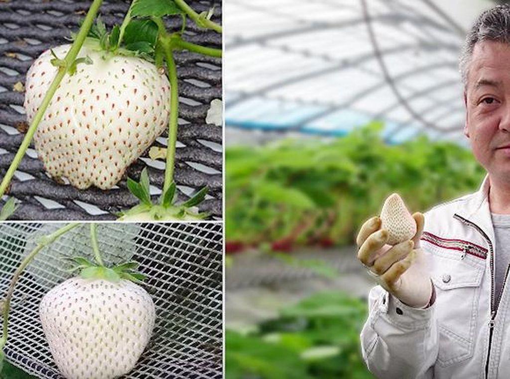 Ini White Jewel, Stroberi Putih yang Harganya Rp 140 Ribu Per Buah