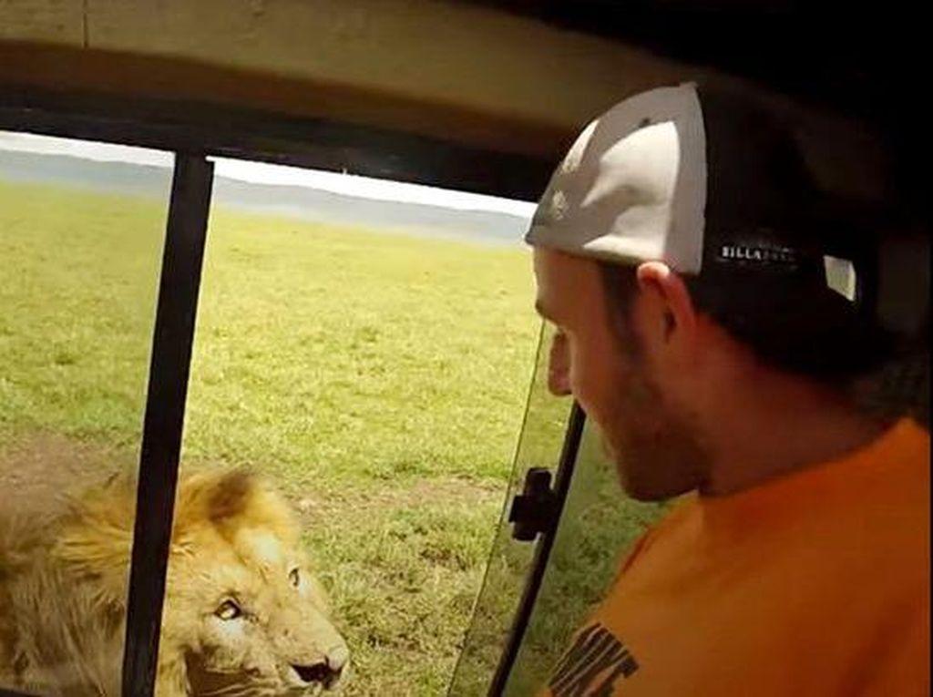 Inikah Turis yang Paling Nggak Sayang Nyawa? Hampir Diterkam Singa