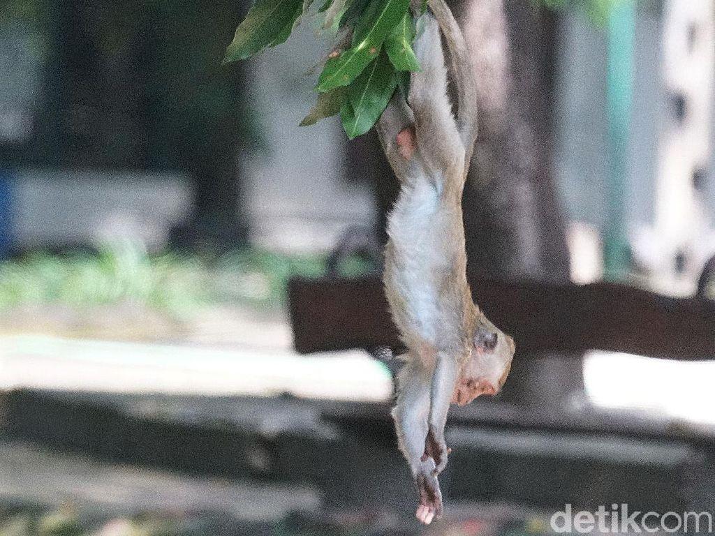 Dampak Penutupan, Monyet Taman Balekambang Solo Kelaparan Serbu Permukiman