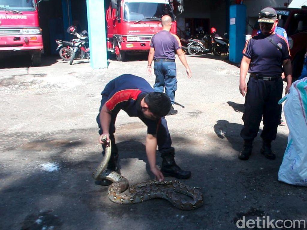 Heboh! Ular Piton 3 Meter Ditemukan Dekat Kamar Bayi di RSU Andi Makkasau