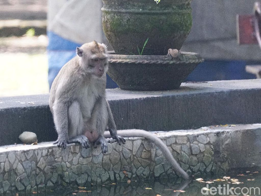 Ngamuk Minta Miras, Monyet Ini Tewaskan 1 Orang dan 250 Luka-Luka