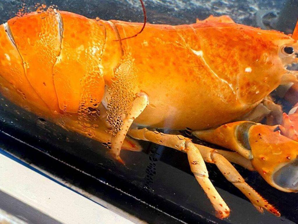 Temukan Lobster Oranye Langka, Chef Restoran Ini Tak Jadi Memasaknya
