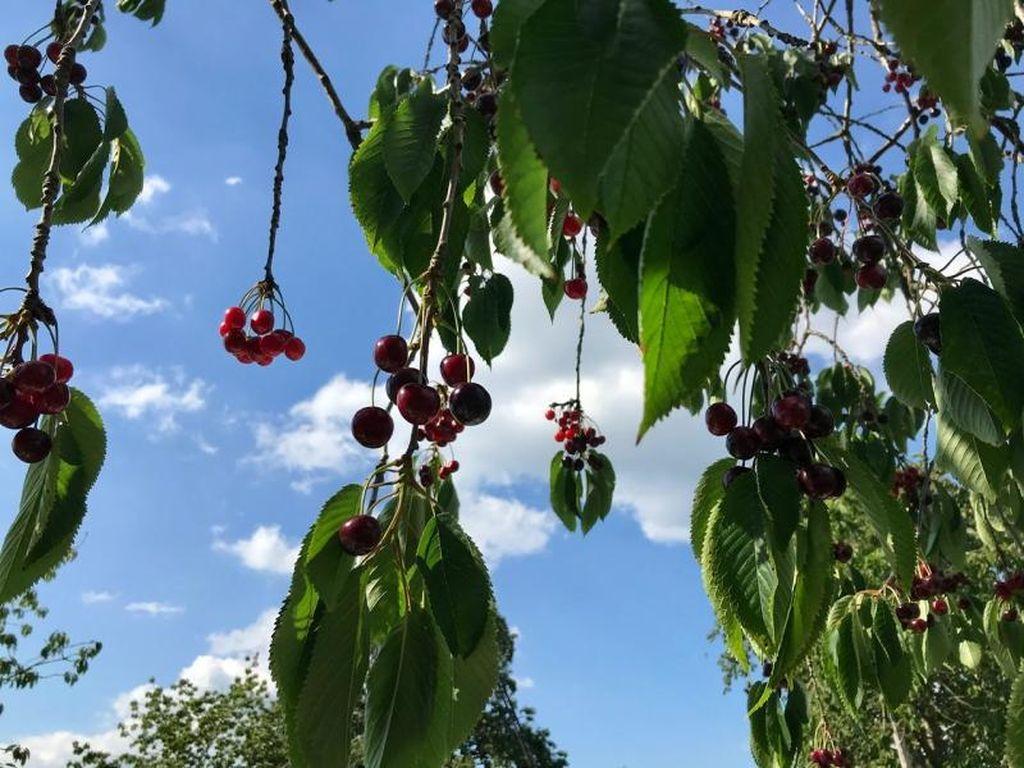 Serunya Memetik Stroberi dan Kersen Langsung di Perkebunan