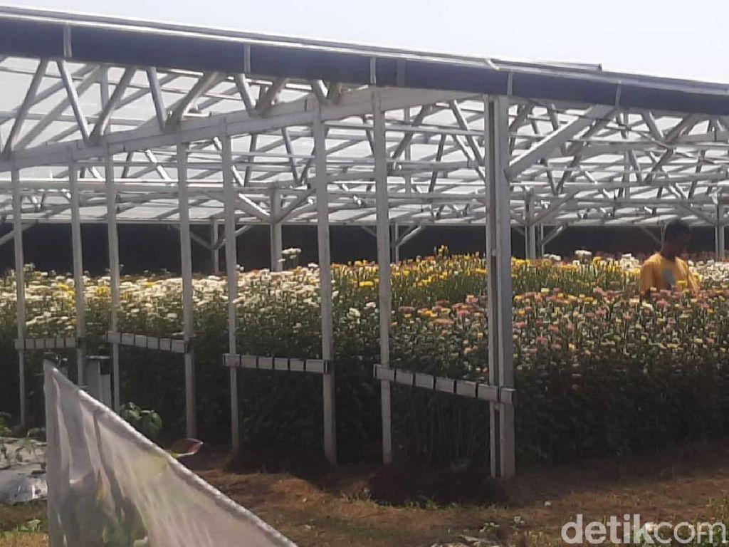 Sebelum Wafat, Pramono Edhie Berniat Memanen Bunga Krisan di Cianjur