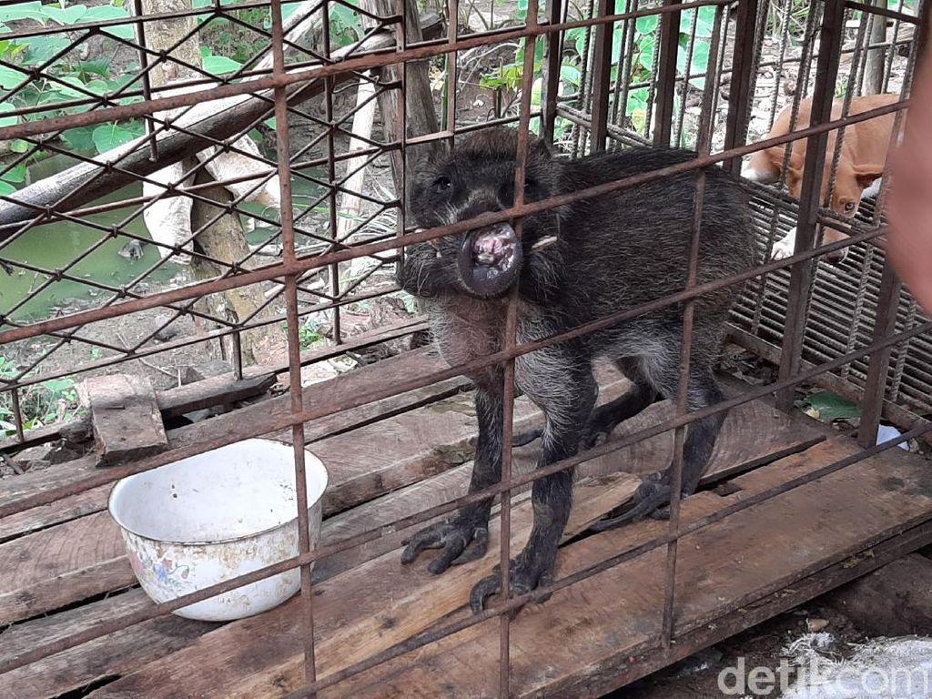 Heboh Babi Hutan Kanibal di Banyumas, Maunya Makan Nasi dan Minum Kopi