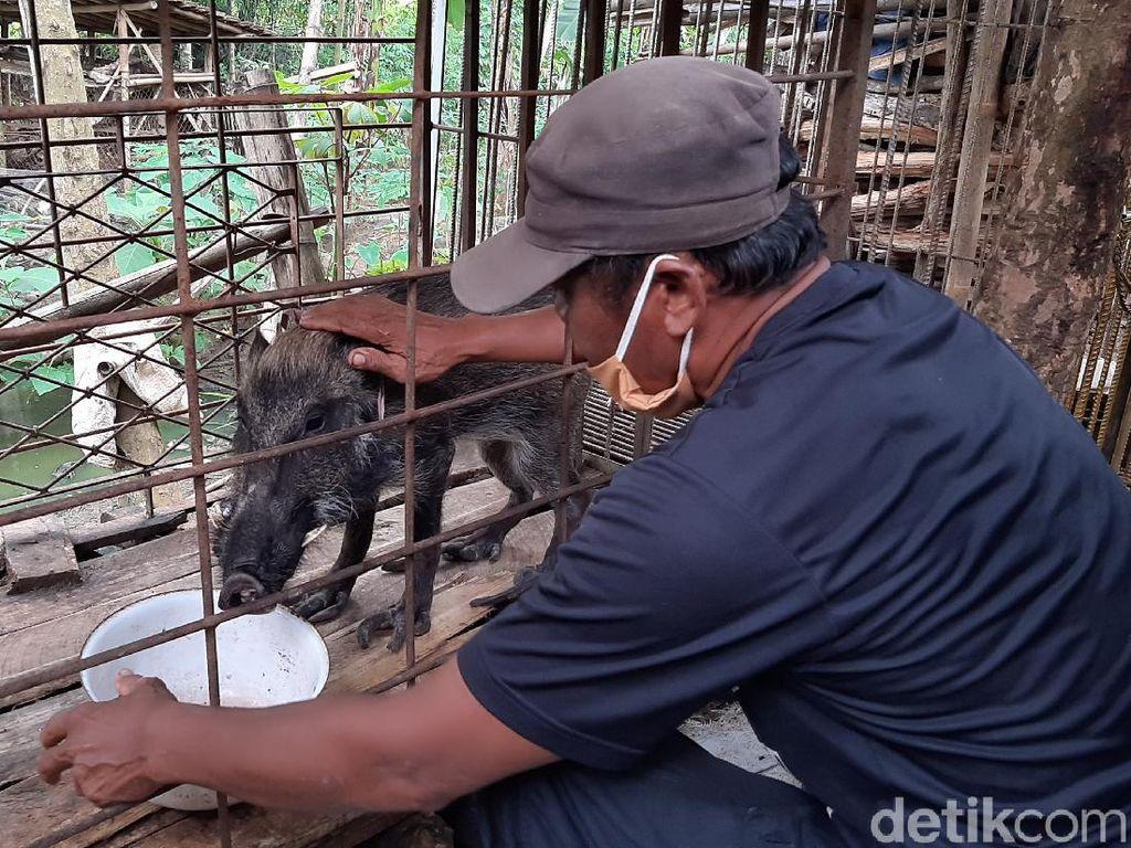 Heboh Babi Hutan Aneh di Banyumas, Maunya Makan Nasi Celeng dan Ngopi