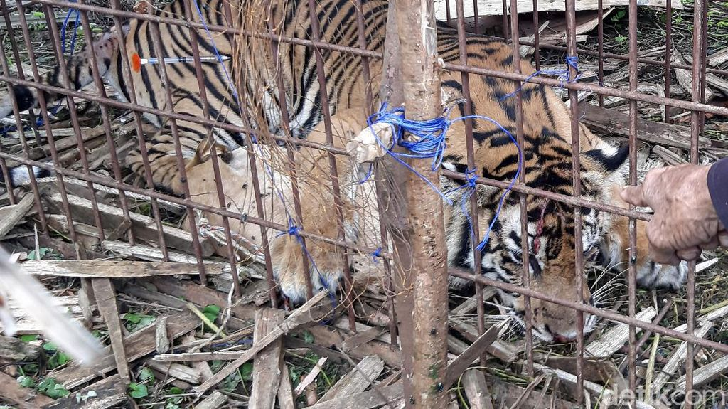Momen Evakuasi Harimau Sumatera di Aceh Selatan