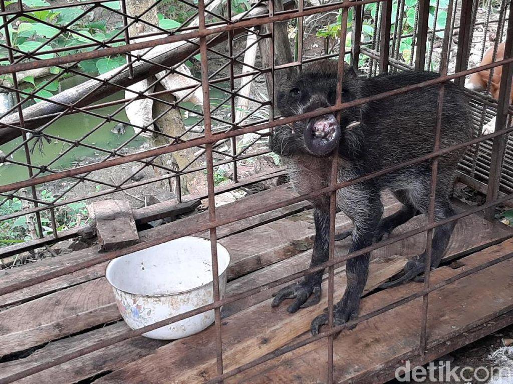 Babi Hutan Aneh Masih Sedot Perhatian, Warga Nonton Dicek Suhu Tubuh
