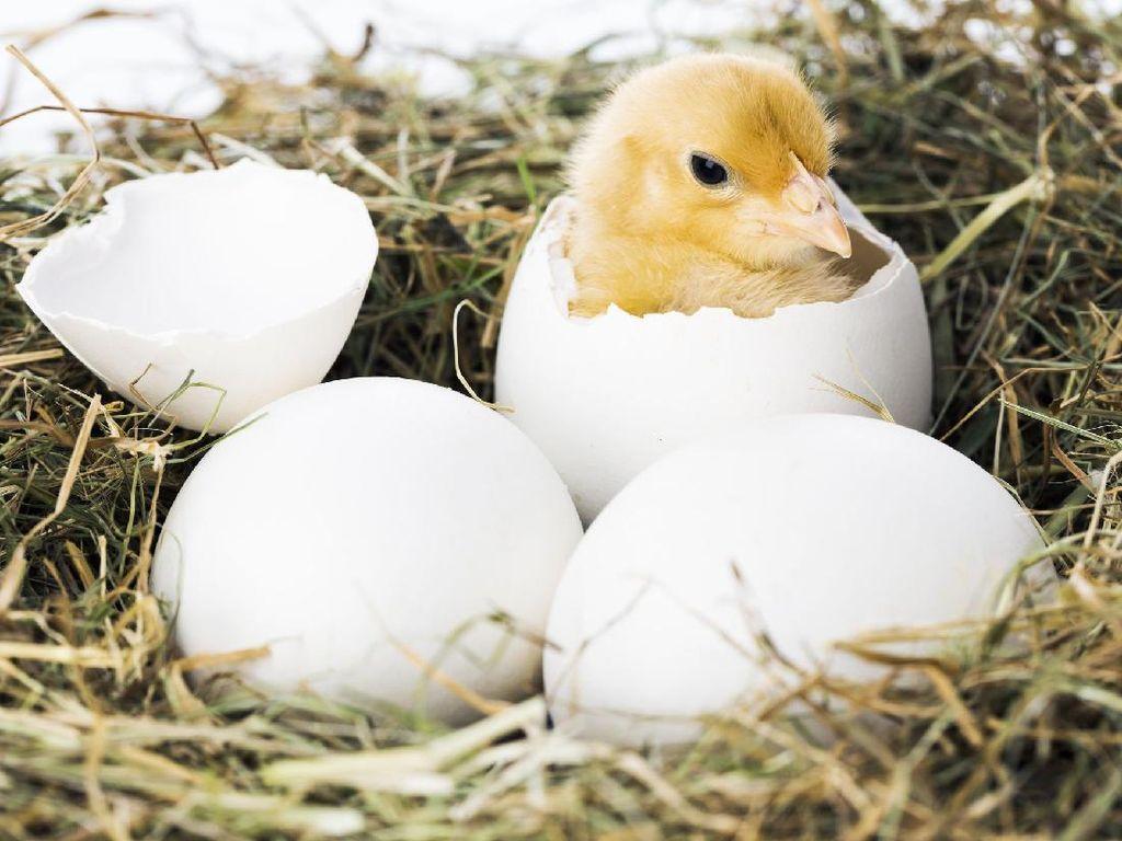 Wanita Ini Terkejut Saat Lihat Anak Bebek Menetas dari Telur yang Dibeli