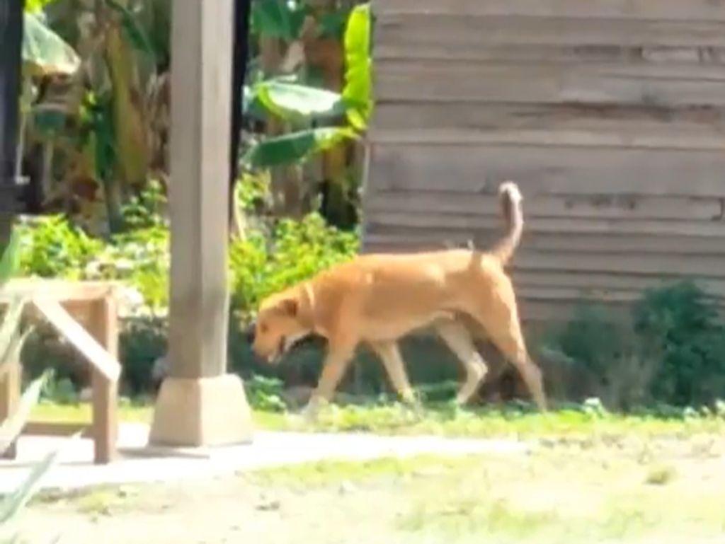 4 Warga Pinrang Jadi Korban Keganasan Anjing Gila!