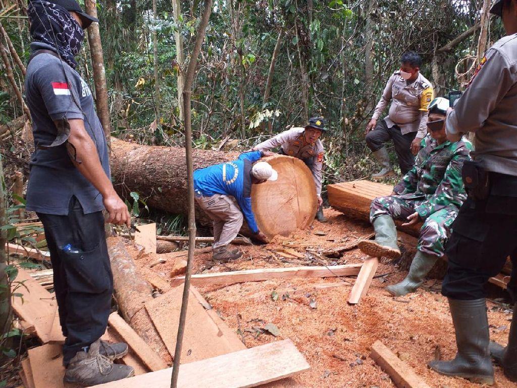 Kayu Raksasa di Taman Nasional Tesso Nilo Riau Dijarah