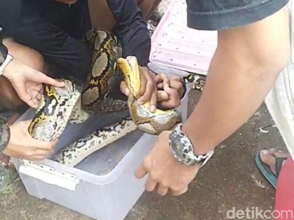 Begini Nasib Ular Sanca yang Ditangkap Saat Nangkring di Rumah Warga Jember