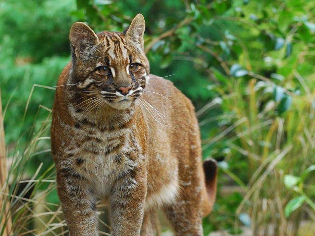 Potret Kucing Emas Langka yang Terancam Punah
