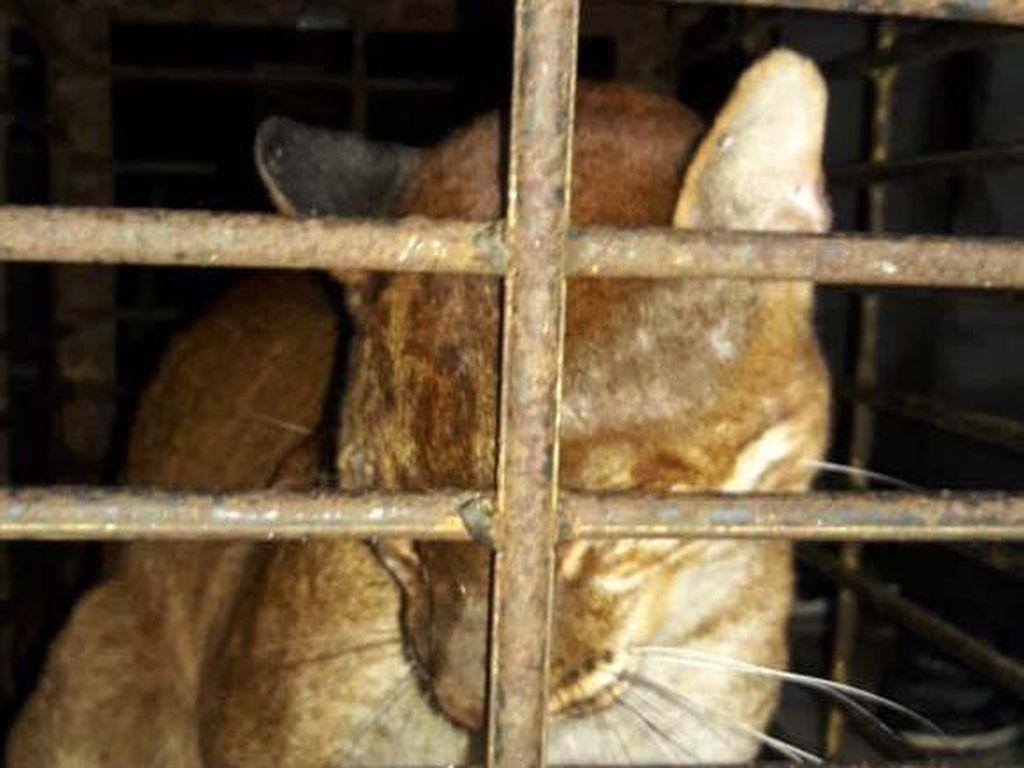 BKSDA Bukittinggi Catat Sudah Ada 3 Kucing Emas yang Mati Sejak 2019