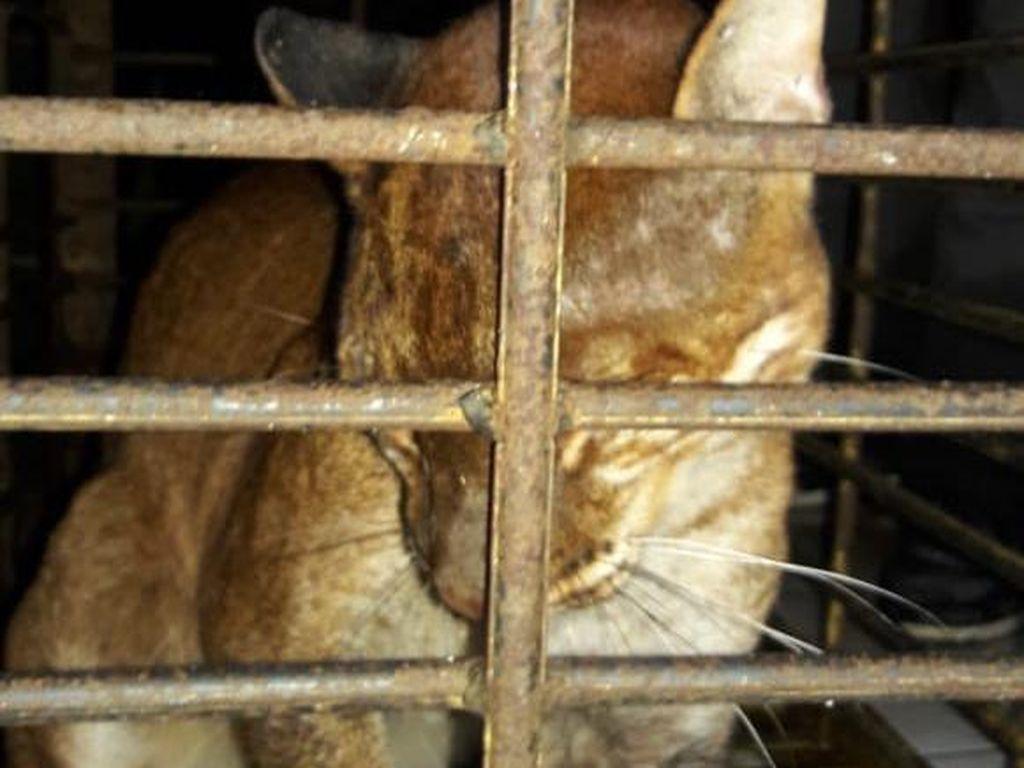 Kucing Emas Kena Jerat Babi Dirawat karena Kaki Membusuk, Ini Penampakannya
