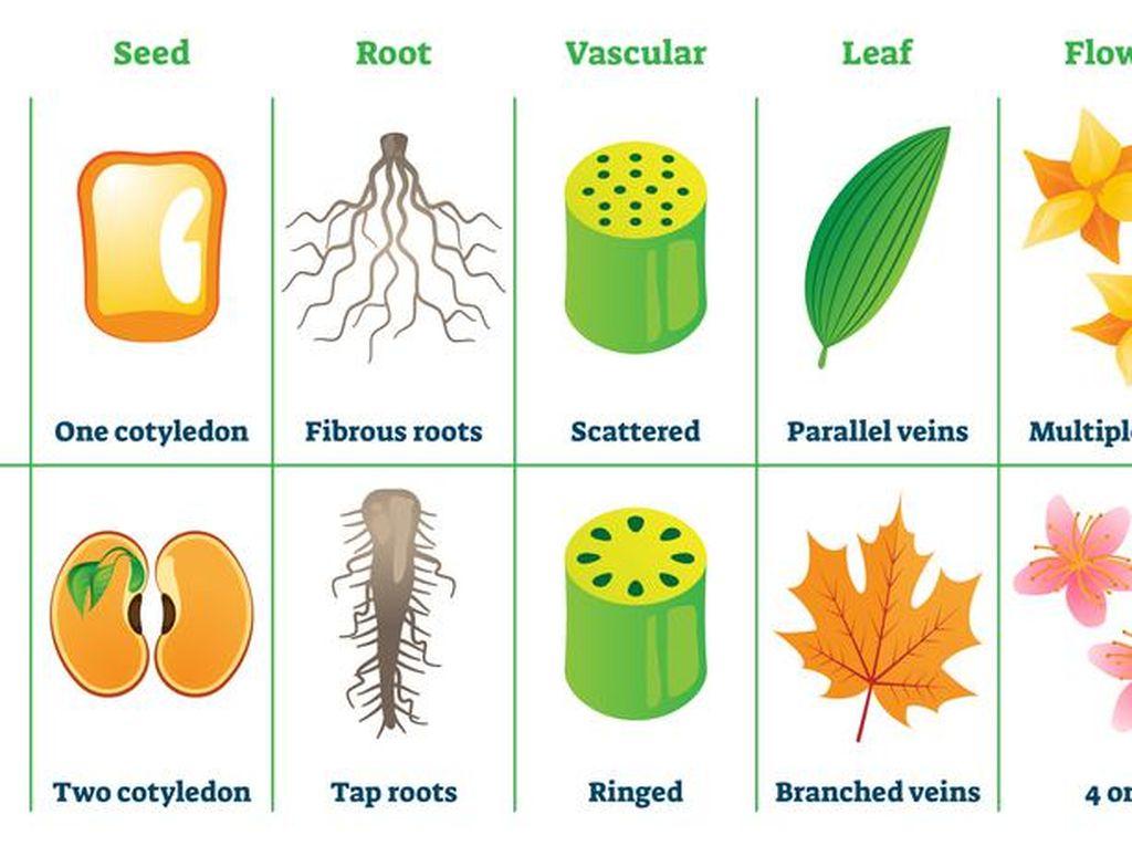 Mengenal Tumbuhan Monokotil dari Ciri-ciri dan Contohnya