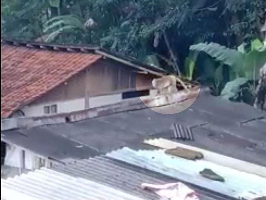 Kelaparan! Kawanan Monyet Liar Teror Warga Lembang Bandung