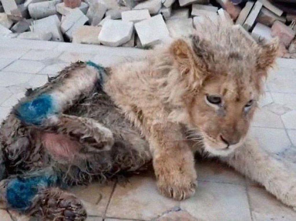 Anak Singa Patah Kakinya Usai Dipaksa Foto Bareng Turis