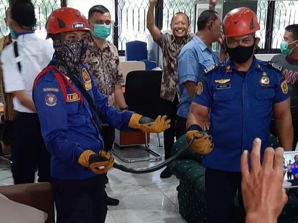 Ular Kobra Jawa Ketahuan Ngumpet di Kantor Setda Kabupaten Bogor