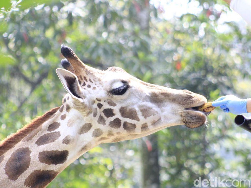 Satwa Kebun Binatang Bazoga Bandung Mulai Berlatih Atraksi Lagi