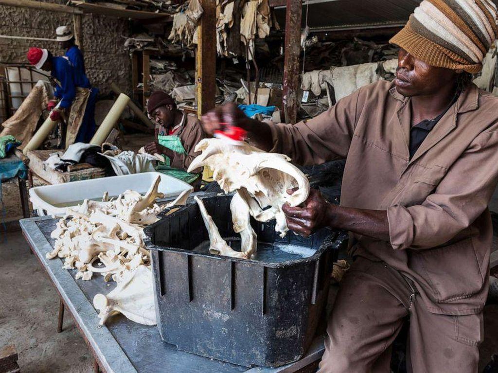 Selain Kelelawar, Tulang Singa Juga Diburu di China Untuk Obat dan Wine