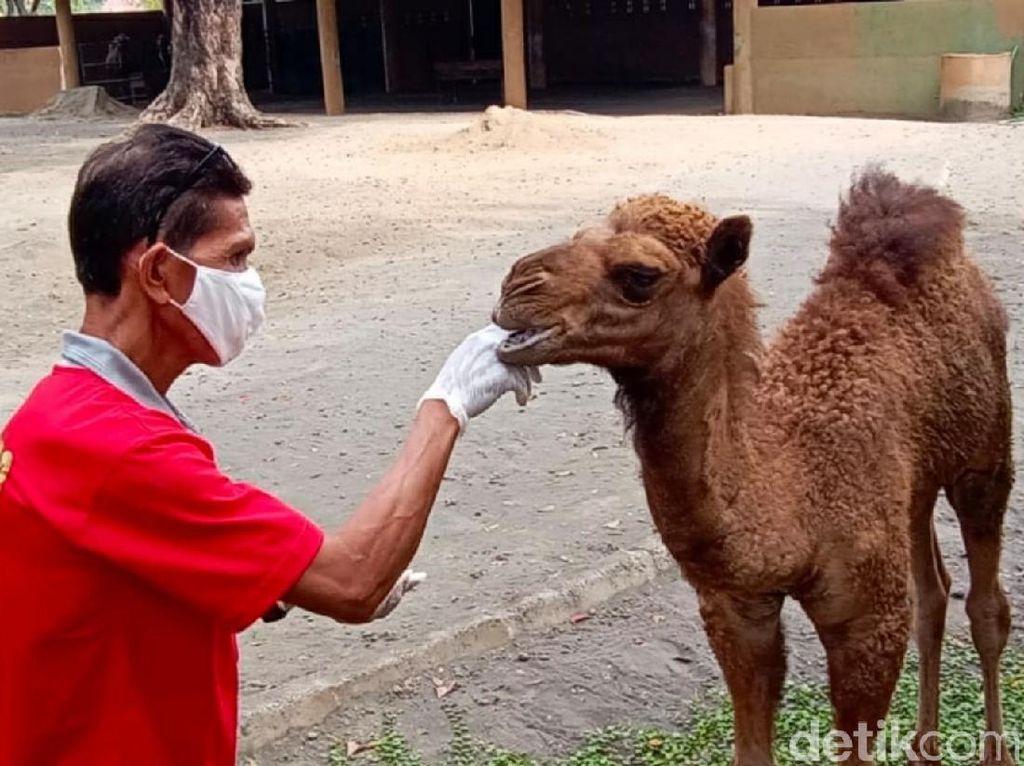 Lahir di Masa Pandemi, Unta Solo Zoo Dinamai Dovir Olan