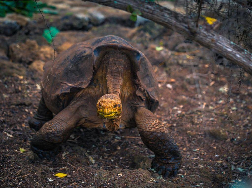 5 Fakta Diego, Kura-kura Playboy yang Pensiun Usai Punya 800 Anak