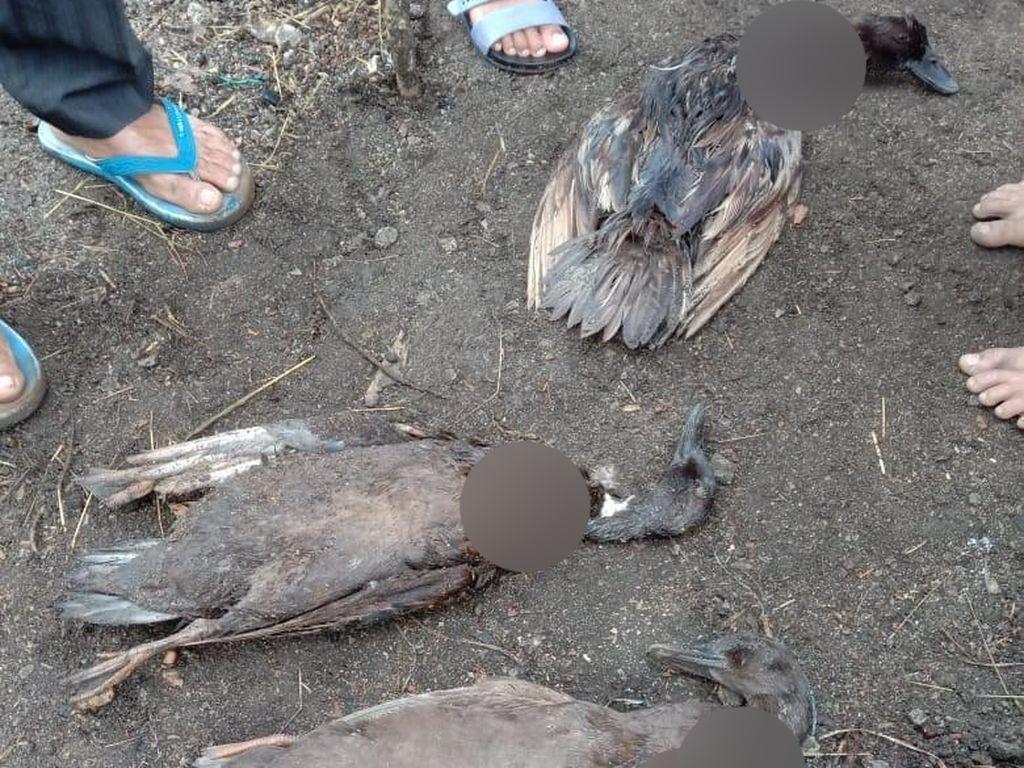 Misteri Ternak Mati Darah Terisap di Taput Ternyata Terjadi Sejak 2017