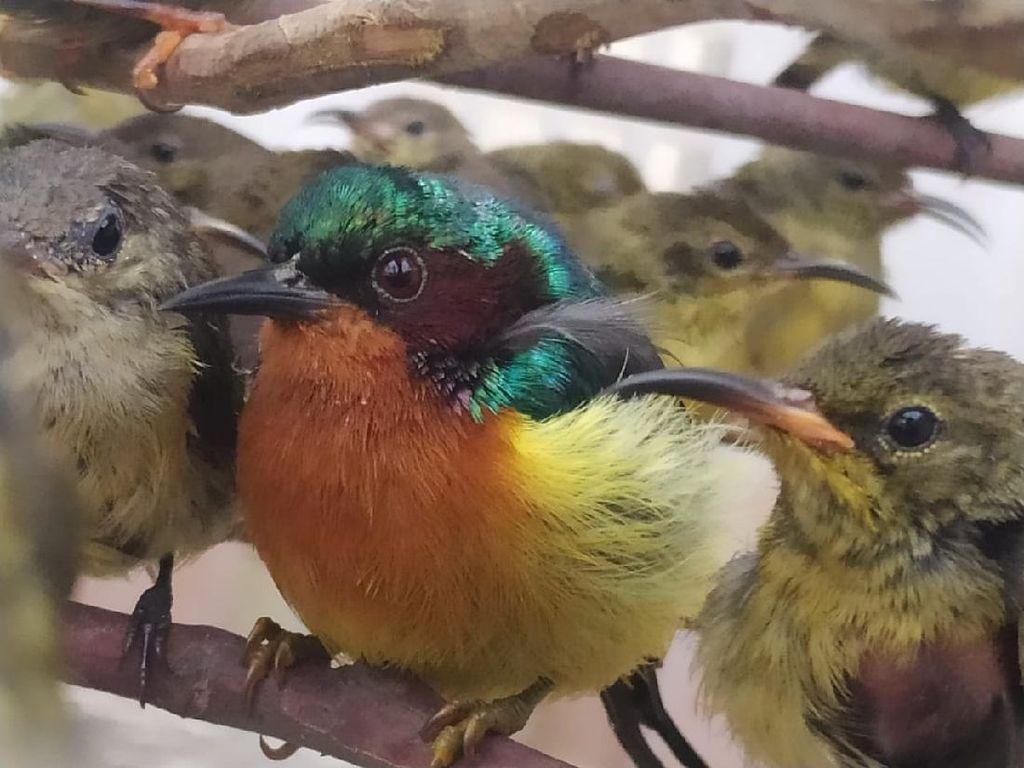 Ratusan Burung Hasil Selundupan di Pangkalpinang Dilepasliarkan