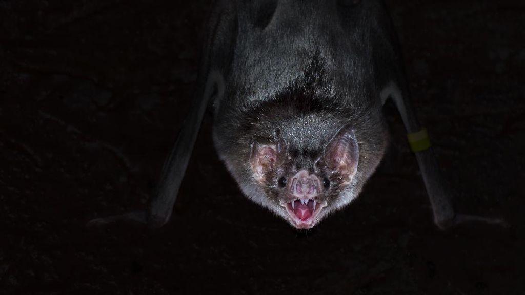 Wujud Seram Kelelawar Vampir Penghisap Darah