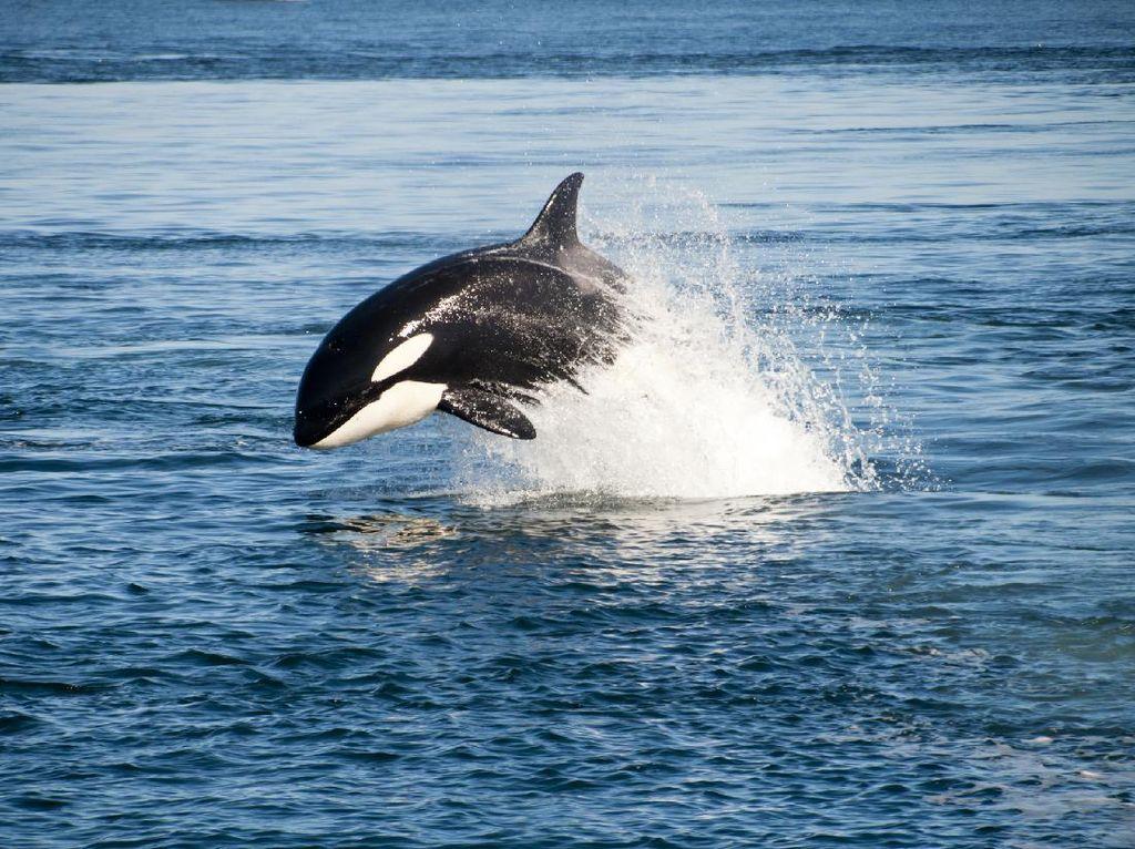 Peneliti: Paus Pembunuh Muncul di Biak Itu Fenomena Langka