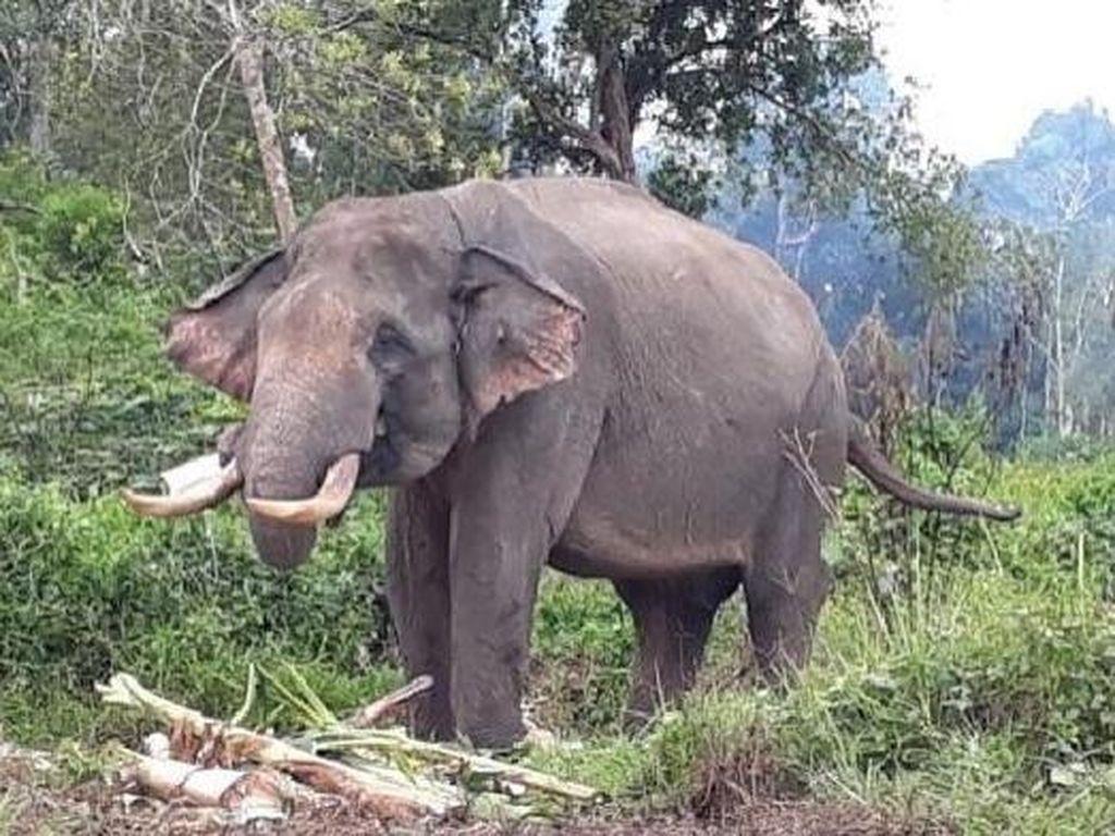 2 Gajah Liar Masuk Kampung di Sumsel, Pondok-Tanaman Sawit Rusak