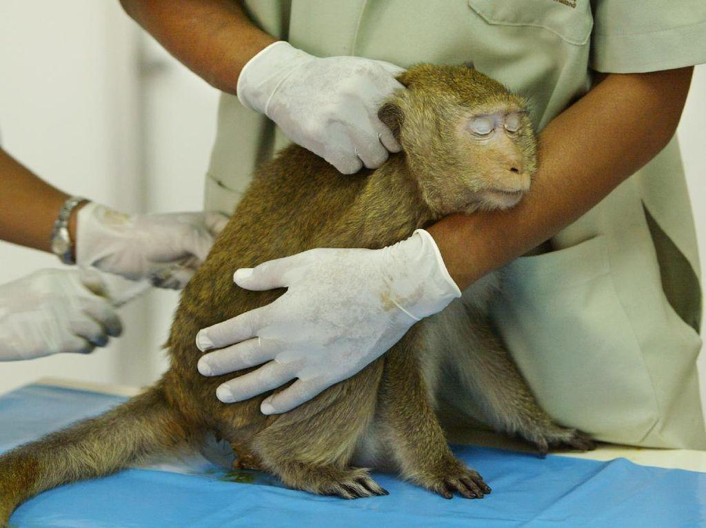 Bikin Onar, Monyet-Monyet di Thailand Disterilisasi