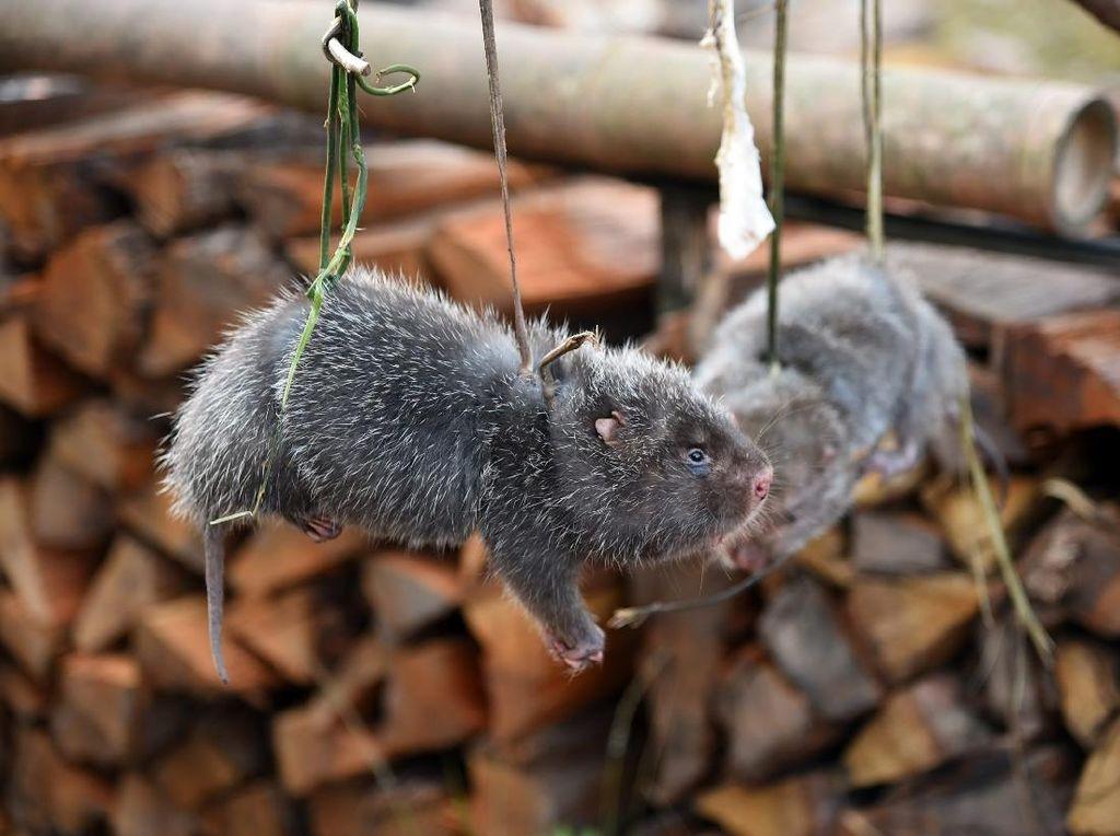 China Musnahkan 1,6 Ton Tikus Bambu Untuk Basmi Perdagangan Hewan Liar