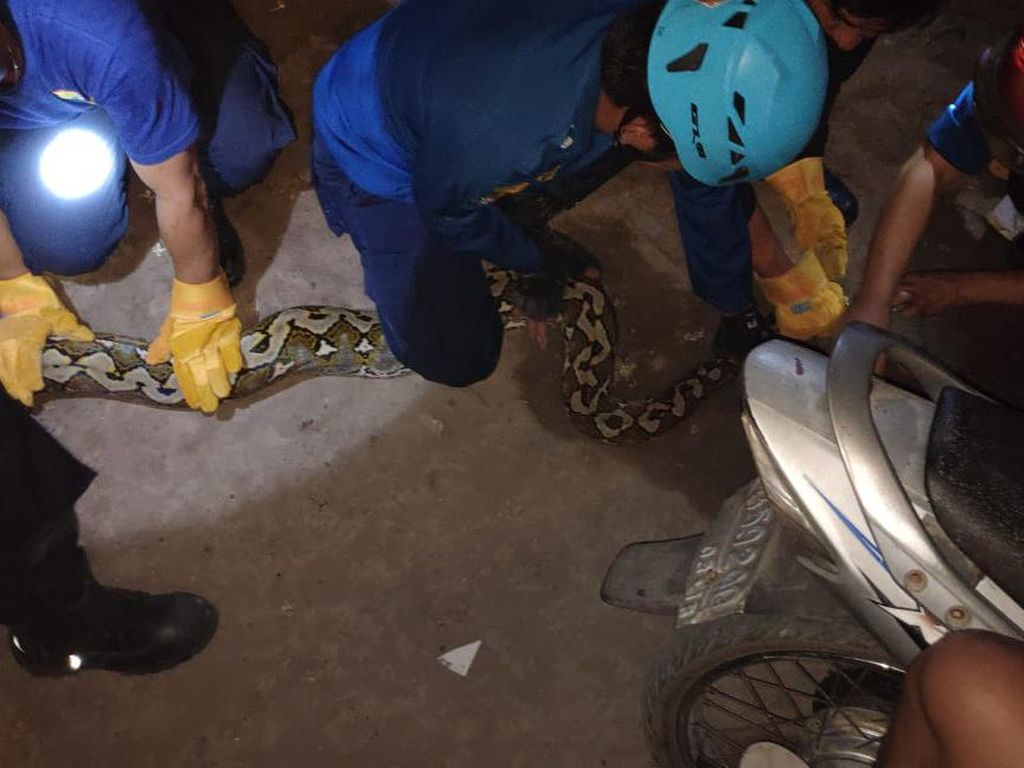 Damkar Makassar Tangkap Ular Piton 5 Meter di Permukiman Warga