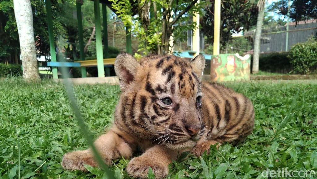 Gemes Banget! Ini Bayi Harimau di Banjarnegara