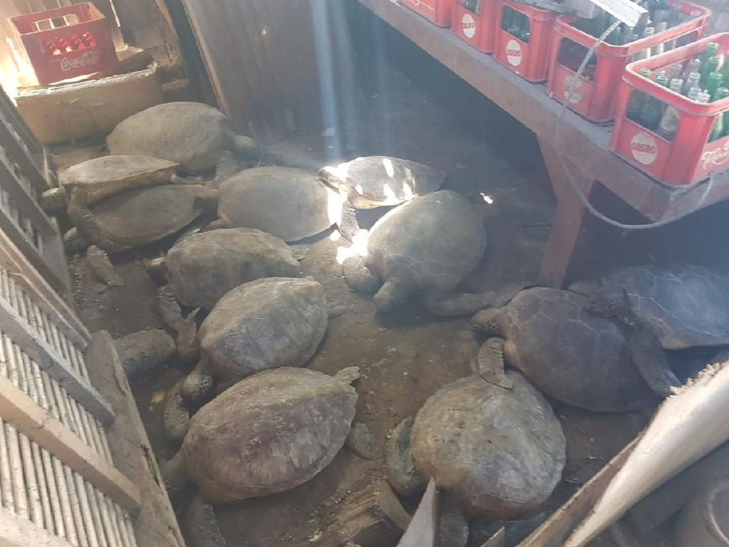 Jual Daging Penyu Hijau, Pemilik Warung di Badung Ditangkap