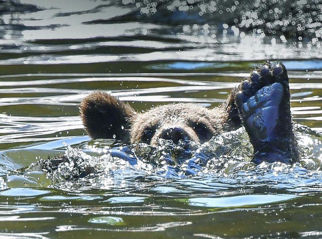 Potret Anak Beruang Berenang Saat Cuaca Panas di Swedia