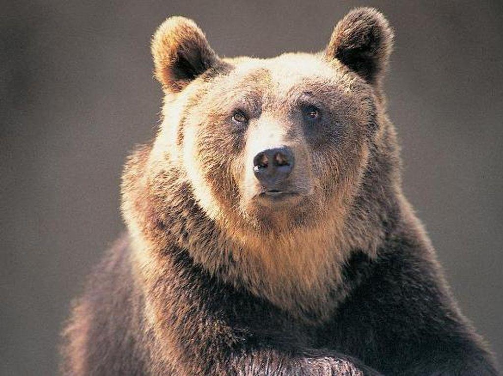 Pria Ini Pukul Beruang Seberat 175 Kg demi Selamatkan Anjingnya