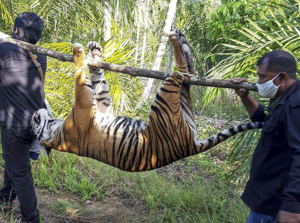 Harimau Sumatera di Riau Ditemukan Mati, Jerat Melingkar di Leher