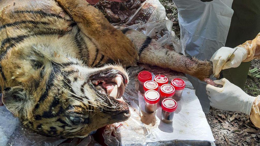 Nekropsi Harimau Sumatera yang Mati di Aceh