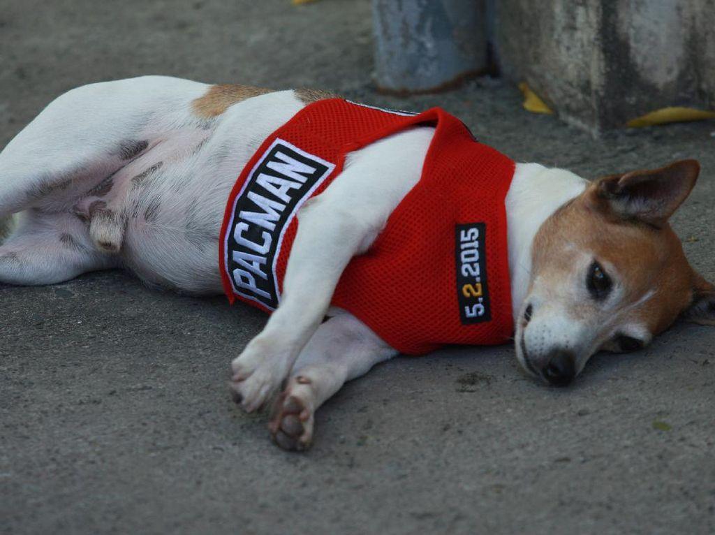 Duh, Anjing Kesayangan Many Pacquiao Mati Terlindas Mobil
