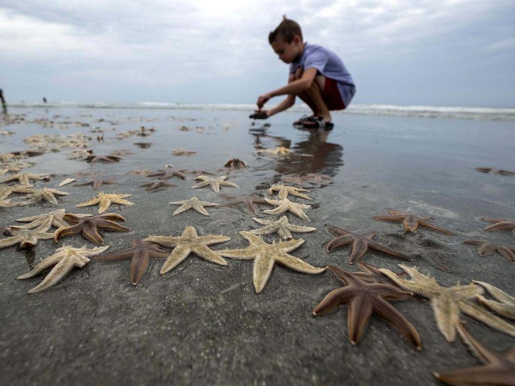 Wow! Ribuan Bintang Laut Terdampar ke Pantai
