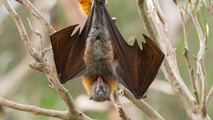 Close up shot of a bat yawning. You can clearly see the animals tongue. This is a fruit bat and the shot was taken in Melbourne, Australia.