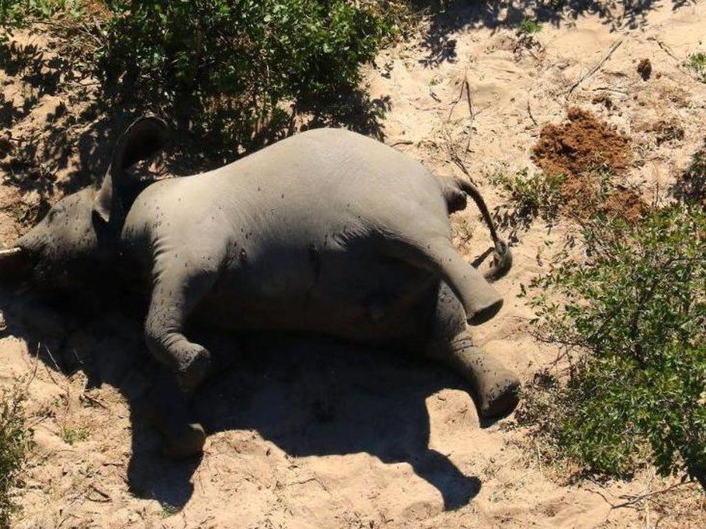 Misterius! Ratusan Gajah Afrika Mati