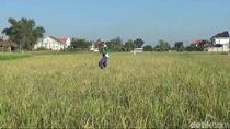 Ratusan Hektare Sawah di Lamongan Puso Gegara Tikus, Petani Rugi Miliaran